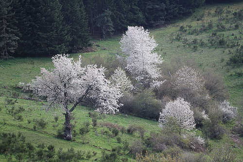 Prunus avium - merisier, cerisier sauvage 2340