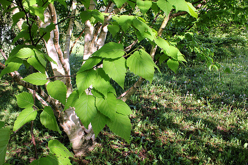 Betula albosinensis 'Hergest'  2343