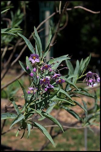 Solanum glaucophyllum - solanum à feuilles glauques 2355