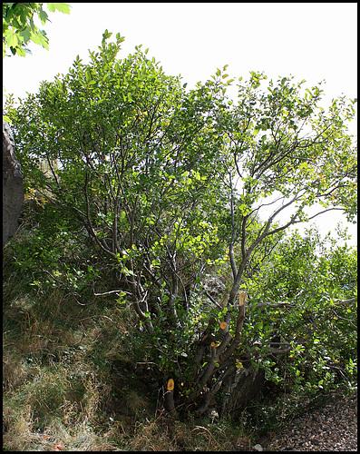 Frangula alnus (= Rhamnus frangula) - bourdaine 2357