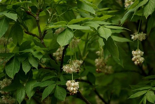 Staphylea pinnata 236