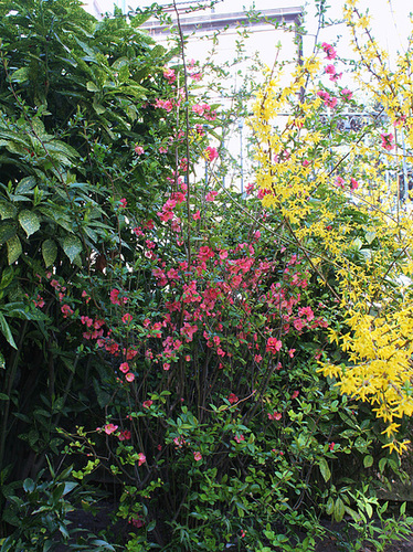 Chaenomeles japonica - cognassier du Japon et hybrides  2363