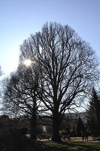 Quercus pedonculatus - chêne pédonculé 2365