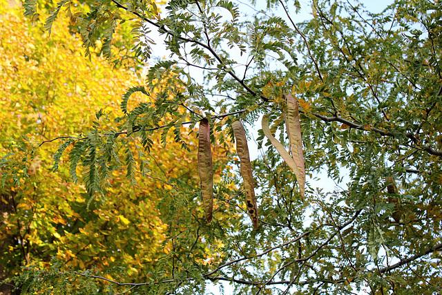 Gleditsia triacanthos - févier d'Amérique 2366