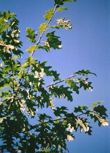 Quercus rubra, Quercus coccinea, Quercus palustris - chênes rouges américains 2367