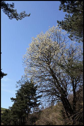 Salix caprea - saule marsault, saule des chèvres 2368