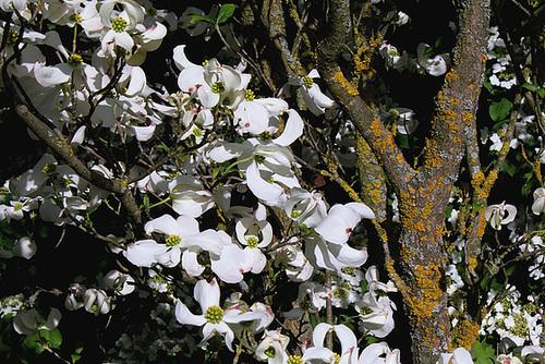 Cornus florida - cornouiller à fleurs  2369