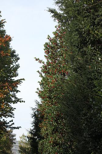 Ilex aquifolium - houx commun  2370