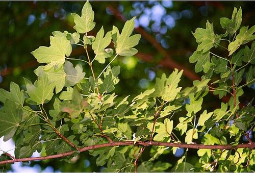 Acer campestre - érable champêtre 2371