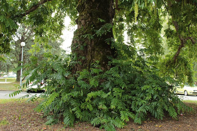 Pterocarya caucasica 2372
