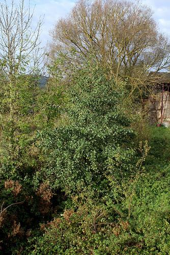Alnus glutinosa et cultivars - aulne glutineux 2373