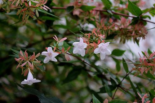 Abelia x grandiflora 2375