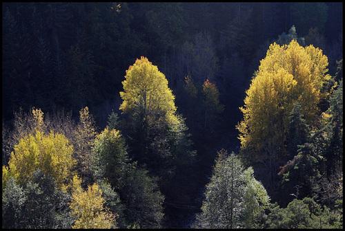 Populus tremula - tremble, peuplier tremble  2376