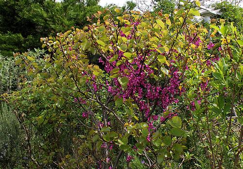 Cercis siliquastrum - arbre de Judée  2379