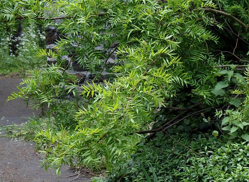Sorbaria sorbifolia - sorbaria à feuilles de sorbier 2381