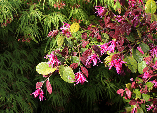 Loropetalum chinense 2382