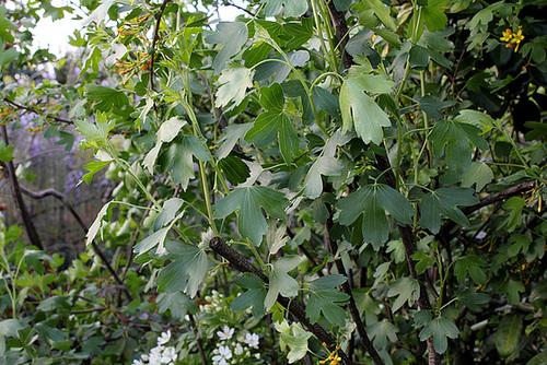 Ribes aureum (= Ribes odoratum) - groseiller doré  2386