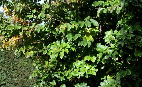 Parrotia persica - arbre de fer 2392