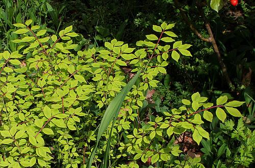 Euonymus alatus - fusain ailé 2393