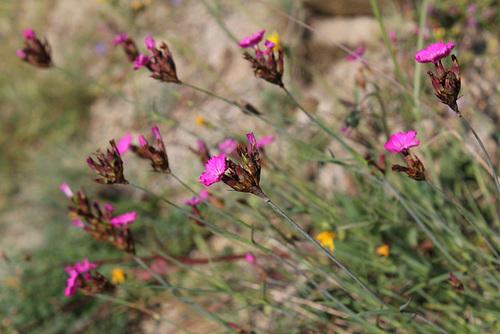 Dianthus carthusianorum - oeillet des Chartreux 2398