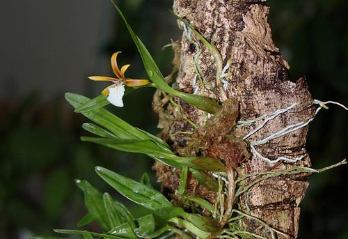 Dinema polybulbon (= Encyclia polybulbon = Epidendrum polybulbon) 2399
