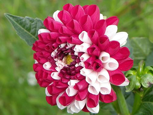Dahlia - variétés, culture 23melo11