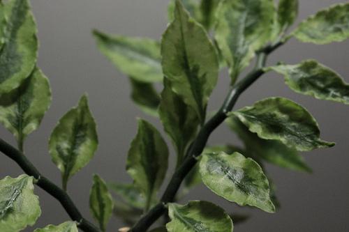 Euphorbia tithymaloides (= Pedilanthus tithymaloides) 2401