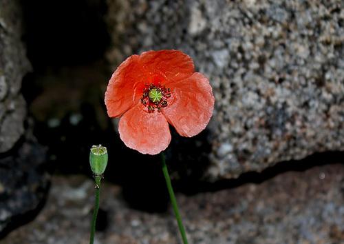 Papaver dubium subsp. dubium - pavot douteux 2405