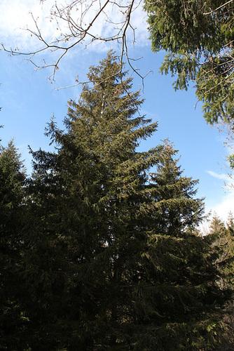 Picea abies (= Picea excelsa) - épicéa commun 2430