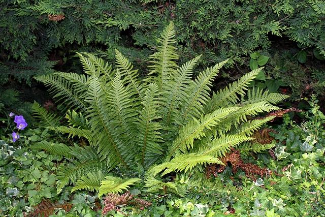 Polystichum aculeatum (= Aspidium aculeatum) 2432
