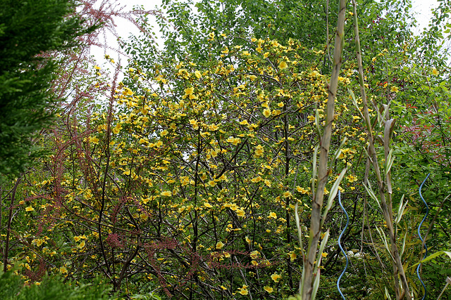 rosier 'Canary Bird' (= Rosa xanthina 'Canary Bird') 2435