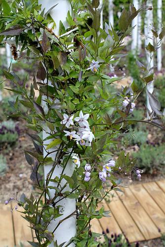 Solanum jasminoides - faux-jasmin 2437