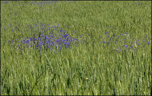 Cyanus segetum (= Centaurea cyanus) - bleuet  2444