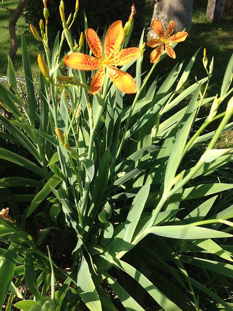 Iris domestica (= Belamcanda chinensis) 2450