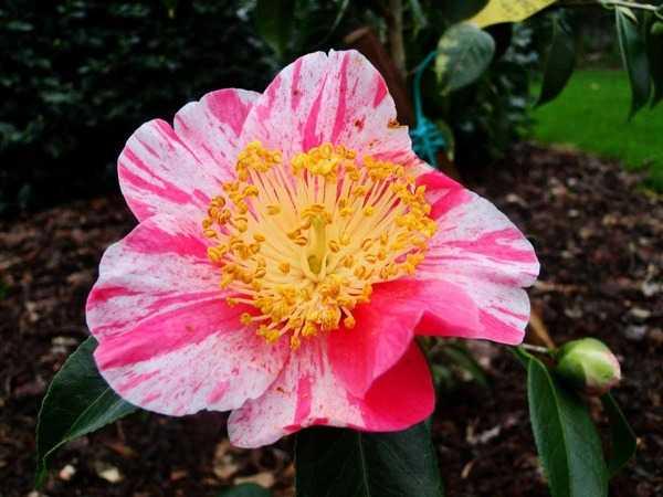 Camellia - choix & conseils de culture - Page 2 2451