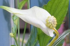 Spathiphyllum, Penstemon, Schefflera, Scindapsus pictus, Calla sp. [id. non terminée] 2453