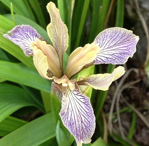 Iris d'ici et d'ailleurs - des espèces - Page 2 24abei12