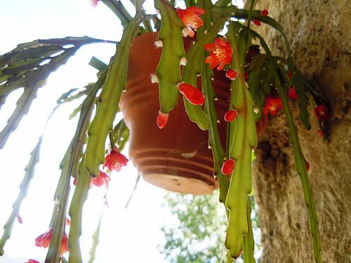 Rhipsalis monacantha (= Lepismium monacanthum = Pfeiffera monacantha)   267