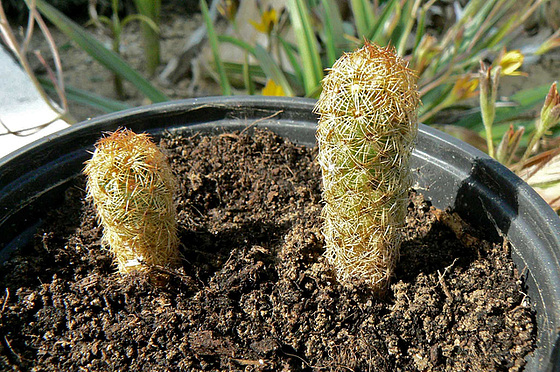 Echinopsis  sp., Mammilaria elongata, Corpuscularia lehmanii, Crassula perfoliata ssp falcata, Crassula perforata, Senecio articulatus [identifications] 271