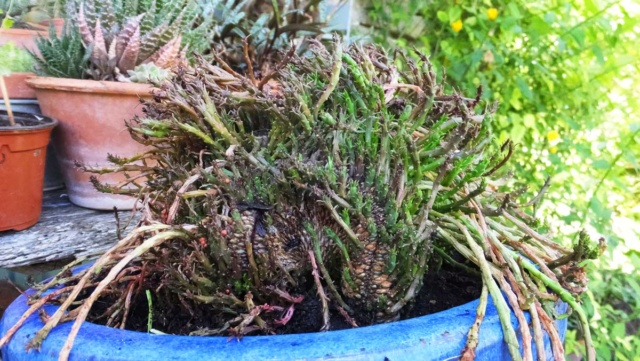 Euphorbia flanaganii 284