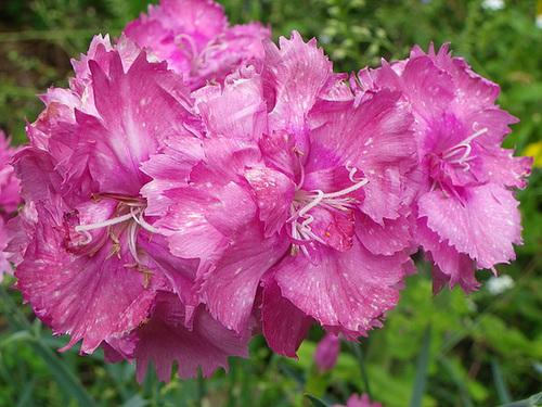 Dianthus plumarius - les oeillets mignardises 287