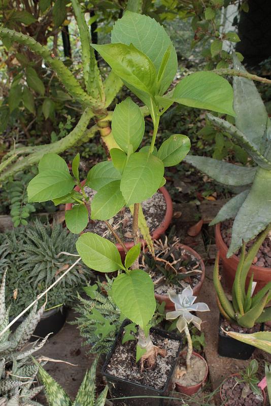 Adansonia digitata - baobab africain - Page 2 2_3dav10