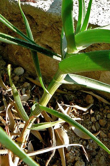 Aloe - identifications [verrouillé] - Page 2 2_411