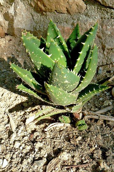 Aloe - identifications [verrouillé] - Page 2 2_511
