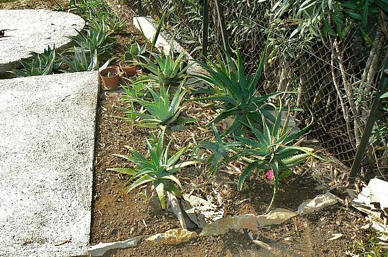 Aloe - identifications [verrouillé] - Page 2 2_611