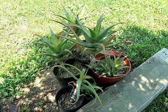 Aloe - identifications [verrouillé] - Page 2 2_8avi10