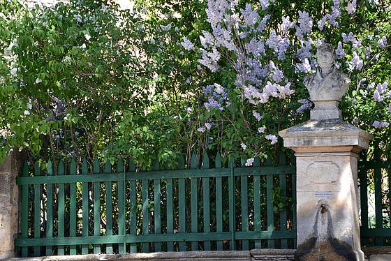Syringa vulgaris - lilas commun 2_pam_10