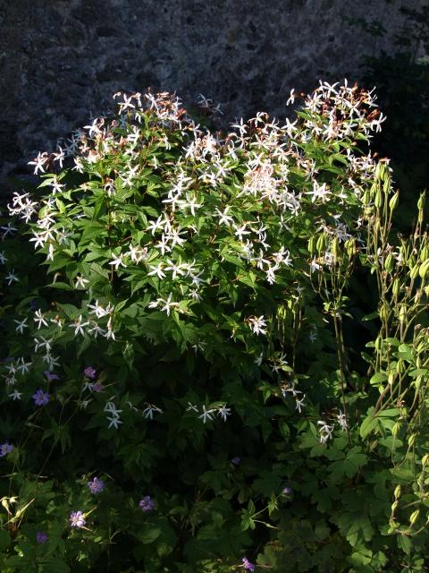 Spiraea trifoliata (= Gillenia trifoliata) 2_vall10