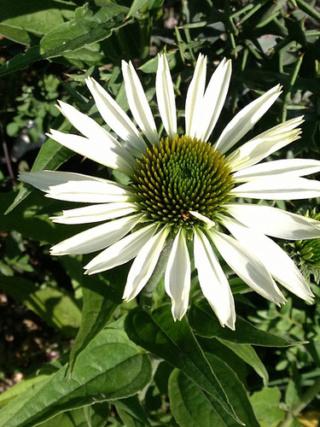 Echinacea - le genre 2abeil10