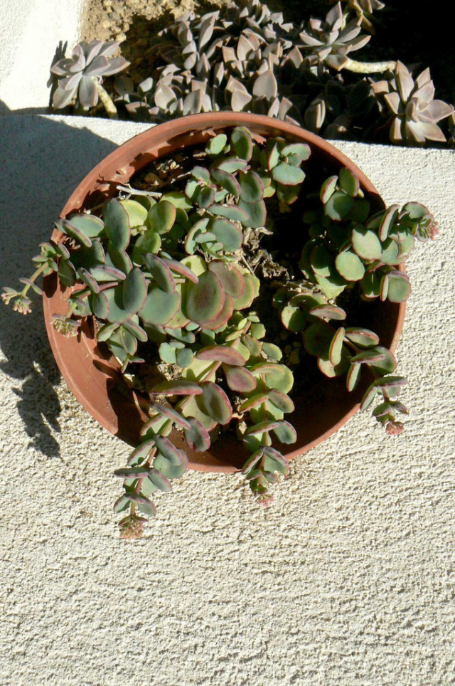 Hylotelephium sieboldii (= Sedum sieboldii) 2avia10